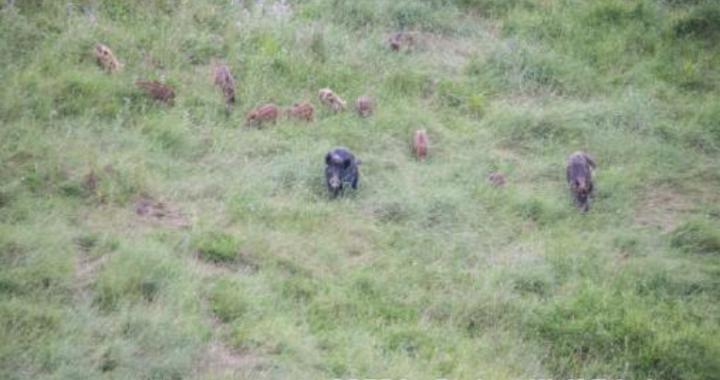 Due grandi cinghiali con una decina di cuccioli nel verde dell'oasi wwf