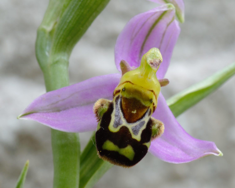 Un'ape succhia il nettare di un'orchidea viola