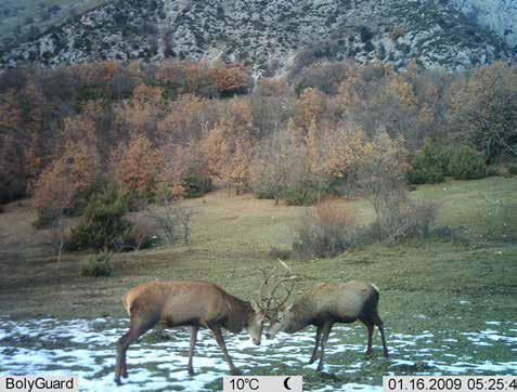 Due cervi combattono