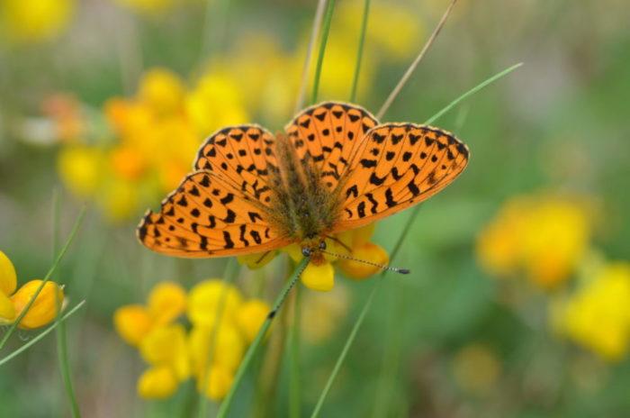 Un primissimo piano di una farfalla arancione che succhia il nettare da un fiore giallo