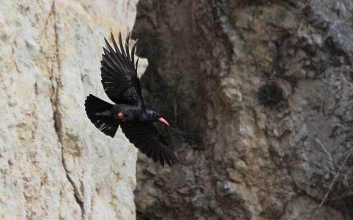 Gracchio Corallino, un uccello nero tipico delle zone abruzzesi