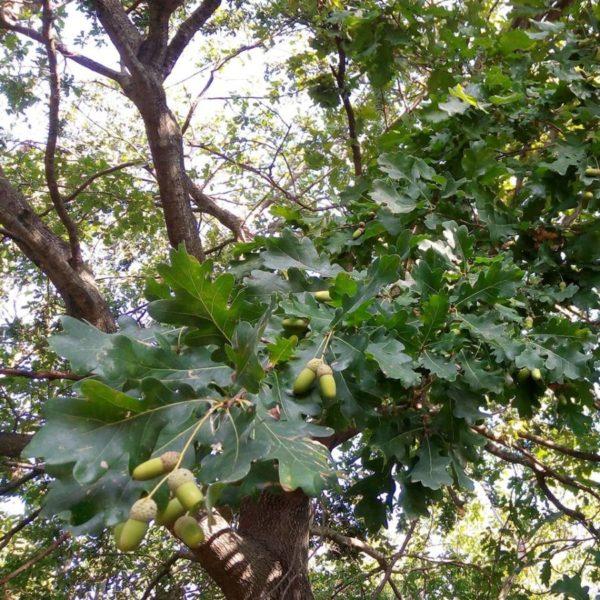 Primo piano di una chioma di una quercia con ghiande ancora verdi