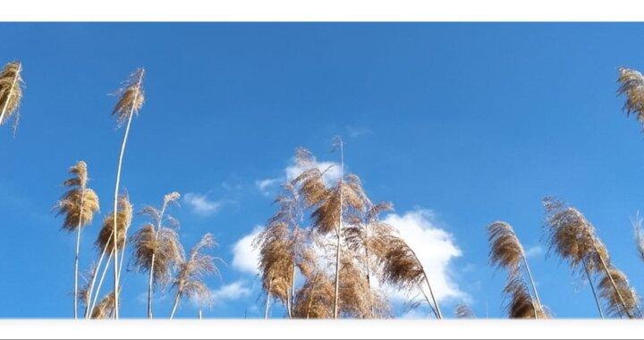 canne al vento
